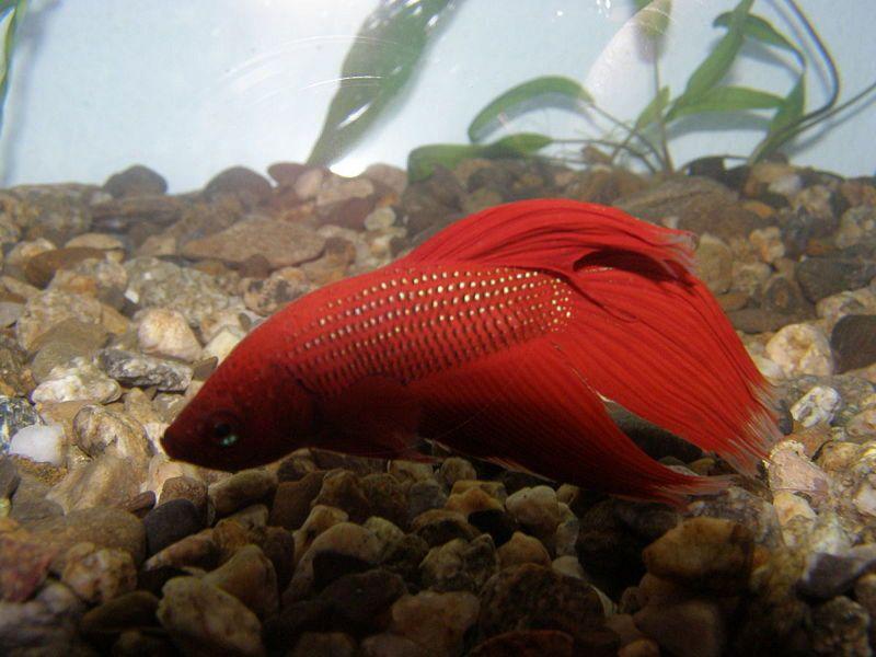 ikan cupang termahal - Ciri Ciri Ikan Cupang Yang Sudah Tua