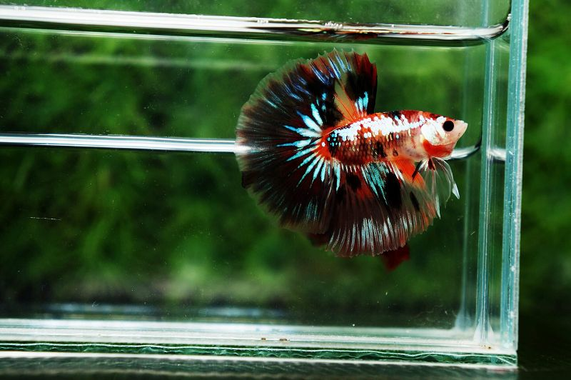 Ciri Ciri Ikan Cupang Hias Yang Bagus Harga Jual Cupang