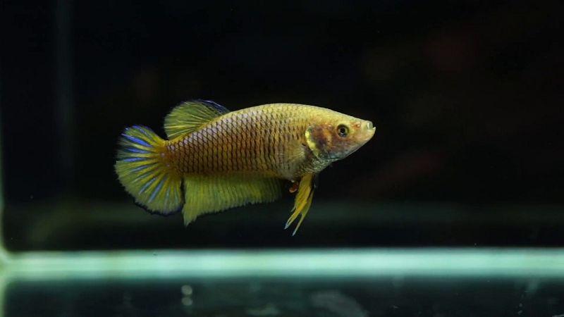 Ciri Ciri Ikan Cupang Betina Yang Bagus