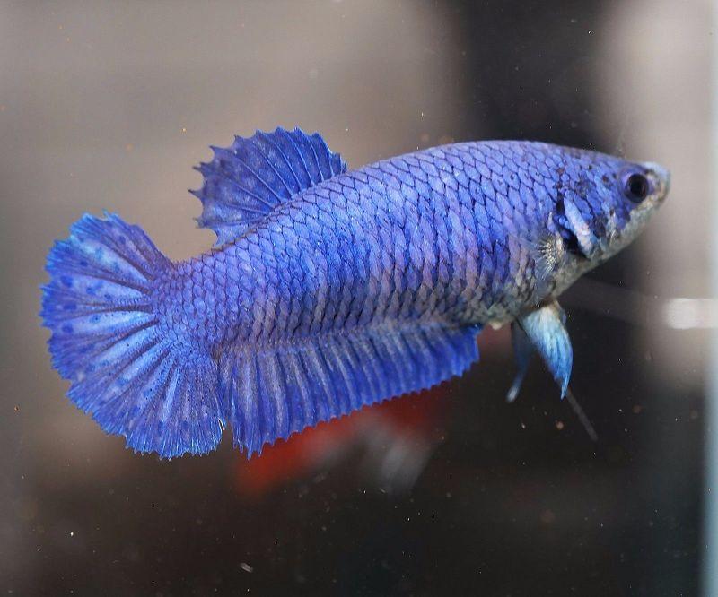 gambar ikan cupang betina