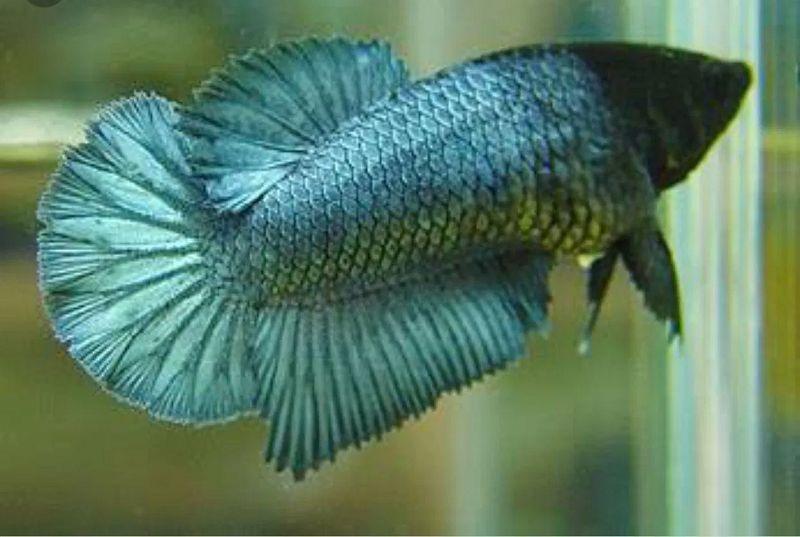 pemilihan ikan cupang betina untuk indukan memiliki ciri ciri brainly