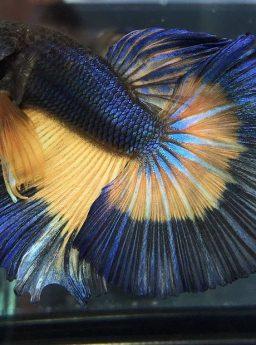 Cara Membuat Sirip Ikan Cupang Mengembang