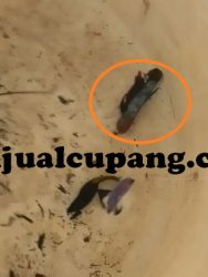 Cara Mengobati Ikan Cupang Sekarat