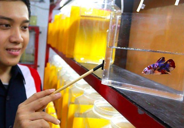 cara memelihara ikan cupang dalam botol