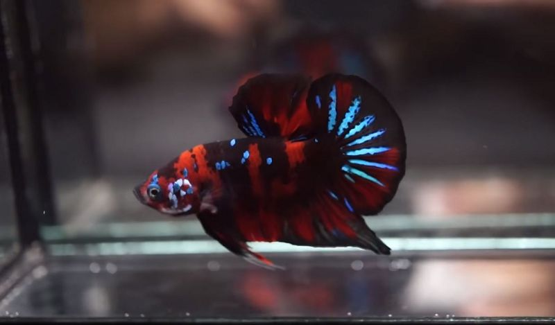 Ikan Cupang Hias