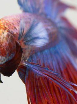 Penyebab Kepala Ikan Cupang Nyendok