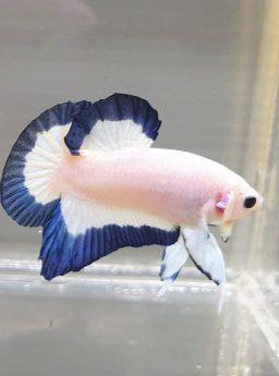 Cara Merawat Ikan Cupang Blue Rim Agar Cepat Mutasi