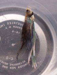 Cara Merawat Ikan Cupang Yang Hampir Mati