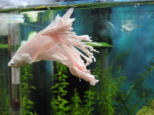 Cara Merawat Ikan Cupang Agar Ekor Cepat Tumbuh