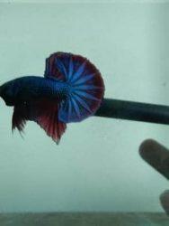 Cara Merawat Ikan Cupang Agar Tetap Sehat