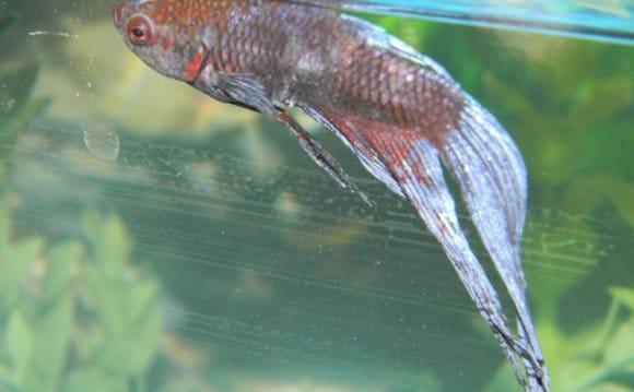 Cara Merawat Ikan Cupang Kuncup